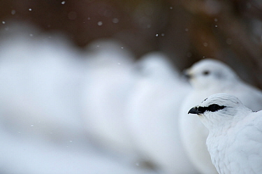 Male Rock ptarmigan (Lagopus muta) with a female and others standing in row, Iceland, March