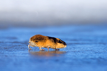 Norway lemming (Lemmus lemmus) on spring snow / ice, Vauldalen, Norway, April