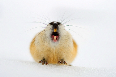 Norway lemming (Lemmus lemmus) calling on spring snow, Vauldalen, Norway, May