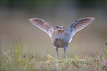 Male Great snipe (Gallinago media) displaying, Norway, June