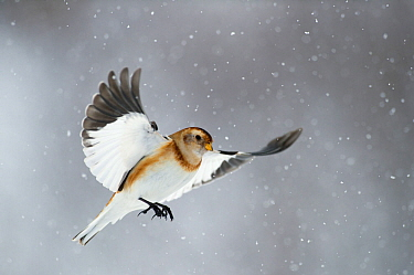 Snow bunting (Plectrophenax nivalis) flying in snow, Iceland, March