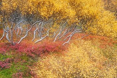 Autumn in the birch forest at Hraunfossar. Iceland.