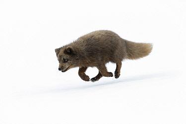 Arctic fox (Alopex lagopus). West Fjords, Iceland, April.