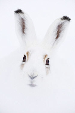 Mountain hare (Lepus timidus) head portrait. Vauldalen, Sor-Trondelag, Norway, April.