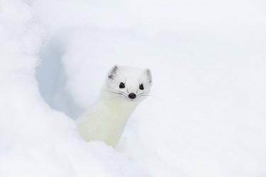 Stoat (Mustela erminea) in white winter coat. Vauldalen, Sor-Trondelag, Norway, April.