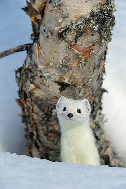 Stoat (Mustela erminea) in white winter coat. Vauldalen, Sor-Trondelag, Norway, April.