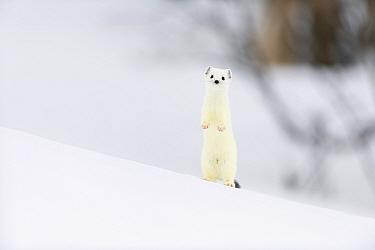 Stoat (Mustela erminea) in white winter coat. Vauldalen, Sor-Trondelag, Norway, May.