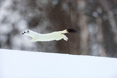 Stoat (Mustela erminea) in white winter coat running. Vauldalen, Sor-Trondelag, Norway, May.