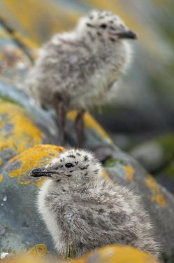 Herring gull (Larus argentatus) chicks, Hornoya, Vardo municipality, Varander-peninsula. Vardo, Finnmark, Norway, July.