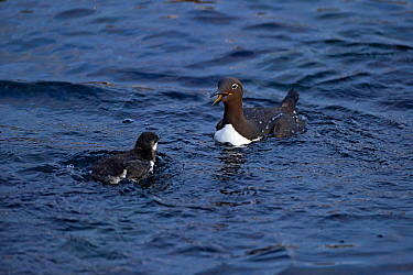 Common guillemot (Uria aalge) adult and chick, Hornoya. Finnmark, Norway, July.