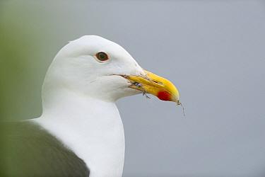Great black-backed gull (Larus marinus) Hornoeya. Finnmark, Norway, July.