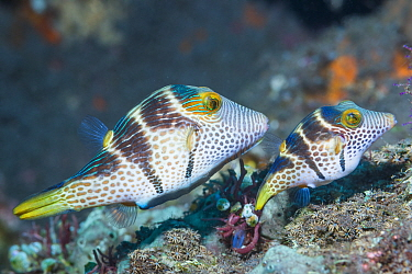 Valentini's sharp nosed puffer or Black-saddled toby (Canthigaster valentini) courting pair. Tulamben, Bali, Indonesia.