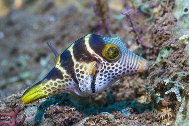 Valentini's sharp nosed puffer or Black-saddled toby (Canthigaster valentini). Tulamben, Bali, Indonesia.