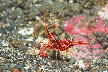 Durban hinge-beak prawn or shrimp (Rhynchocinetes dubanensis). Tulamben, Bali, Indonesia.