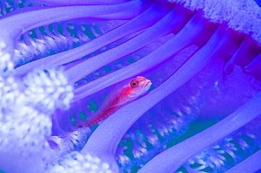 Translucent coral goby (Bryaninops erythrops) in Seapen (Virgularia gustaviana). Komodo National Park, Indonesia. Indo-West Pacific.