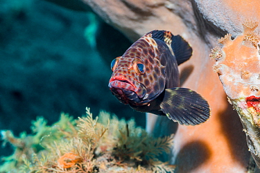 Highfin grouper (Epinephelus maculatus). Tulamben, Bali, Indonesia.
