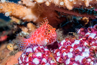 Coral hawkfish (Cirrhitichthys oxycephalus) perched on sea squirts. Tulamben, Bali, Indonesia.