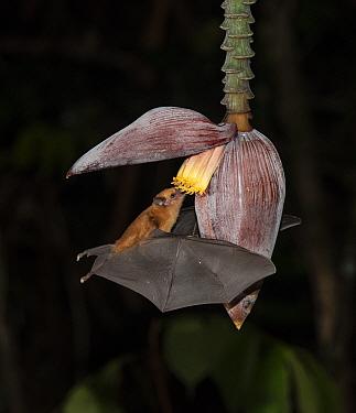 Leaf-nosed bat (Phyllostomidae sp). feeding on Banana flower at night,. Costa Rica