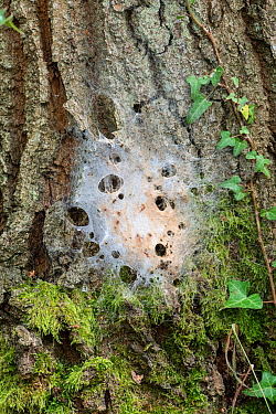 Oak Processionary Moth (Thaumetopoea processionea) nest of larvae on bark of Oak tree (Quercus robur) Surrey, UK, July