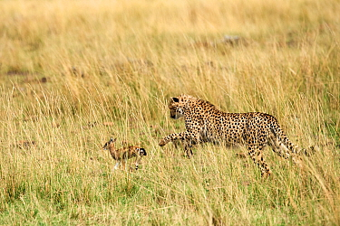 Cheetah subadult (Acinonyx jubatus) hunting a Thomson's gazelle fawn (Eudorcas thomsonii) caught by the mother so they can develop their hunting skills, Masai Mara National Reserve, Kenya.