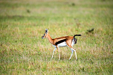 Thomson's gazelle (Eudorcas thomsonii) giving birth to a fawn. Masai Mara National Reserve, Kenya.Sequence 2 of 7.