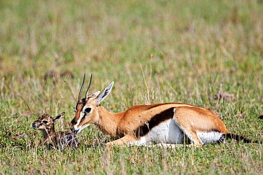 Thomson's gazelle (Eudorcas thomsonii) mother pulling birth sac off newborn baby. Masai Mara National Reserve, Kenya. Sequence 3 of 7.