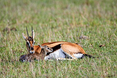 Thomson's gazelle (Eudorcas thomsonii) mother licking newborn baby. Masai Mara National Reserve, Kenya. Sequence 4 of 7.