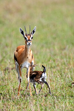 Thomson's gazelle (Gazella thomsonii) nursing a newborn calf. Masai Mara National Reserve, Kenya. Sequence 7 of 7.