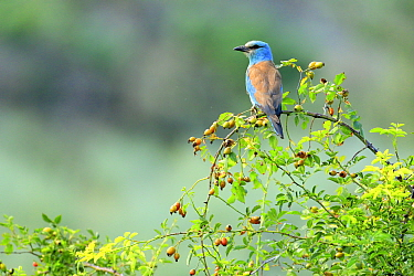 European roller (Coracias garrulus) perched on Dog -rosehips (Rosa canina), Danube Delta, Romania. July.