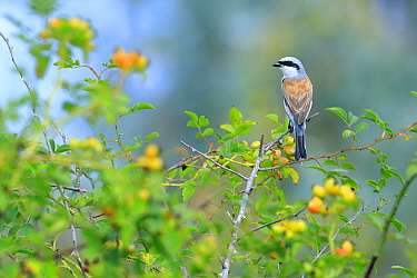 Red-backed Shrike (Lanius collurio) male perched in Dog-rosehips (Rosa canina). Danube Delta, Romania. July