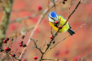 Blue Tit (Cyanistes caeruleus) eating Hawthorn berries, Sierra de Grazalema Natural Park, southern Spain, December.