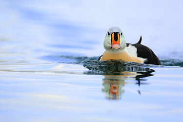 Adult male King Eider (Somateria spectabilis).Batsfjord, Norway, March.