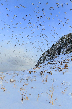 Guillemots (Uria aalge) in flight over snow, Vardo, Norway, March.