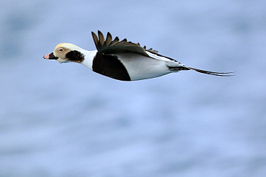 Male Long-tailed duck (Clangula hyemalis) in flight, Batsfjord, Norway, March.