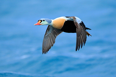 Adult male King Eider (Somateria spectabilis) in flight. Batsfjord, Norway, March.