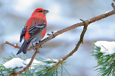 Pine grosbeak (Pinicola enucleator) Ivalo, Finland. March