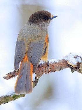 Siberian jay (Perisoreus infaustus) Ivalo, Finland. March
