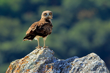 Short-toed eagle (Circaetus gallicus) on rock in the Sierra de Grazalema Natural Park. Spain. July