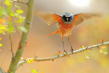 Common redstart (Phoenicurus phoenicurus) taking off, Sierra de Grazalema Natural Park. Southern Spain. September