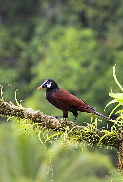 Montezuma oropendola (Psarocolius montezuma) Costa Rica.