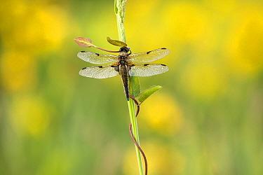 Four-spotted chaser (Libellula quadrimaculata), Westhay, Somerset Levels, Somerset, England, UK