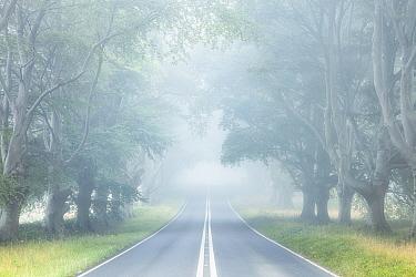 Beech (Fagus sylvcatica) avenue, Kingston Lacey, Wimborne, Dorset, England, UK