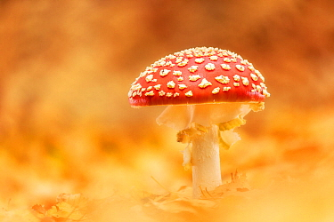 Fly agaric (Amanita muscaria), New Forest National Park, Hampshire, England, UK
