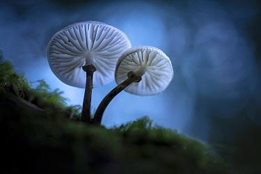 Porcelain fungus (Oudemansiella mucida), New Forest National Park, Hampshire, England, UK, October 2017.