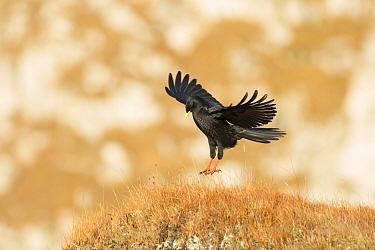 Alpine chough (Pyrrhocorax graculus) landing, Slovenia.
