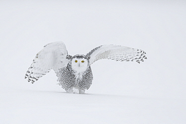 Snowy Owl (Bubo scandiacus) female on ground in snow with wings spread, Ontario, Canada