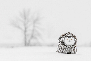 Snowy Owl (Bubo scandiacus) in threat posture towards another owl, Ontario, Canada