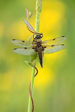 Four-Spotted chaser dragonfly (Libellula quadrimaculata), Westhay, Somerset Levels, Somerset, England, UK, June.