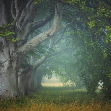 Beech tree (Fagus sylvatica) avenue at Kingston Lacey, Wimborne, Dorset, England, UK, August.