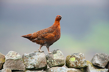 Red Grouse (Lagopus lagopus) on dry stone wall, Yorkshire Dales National Park, England, UK, May.